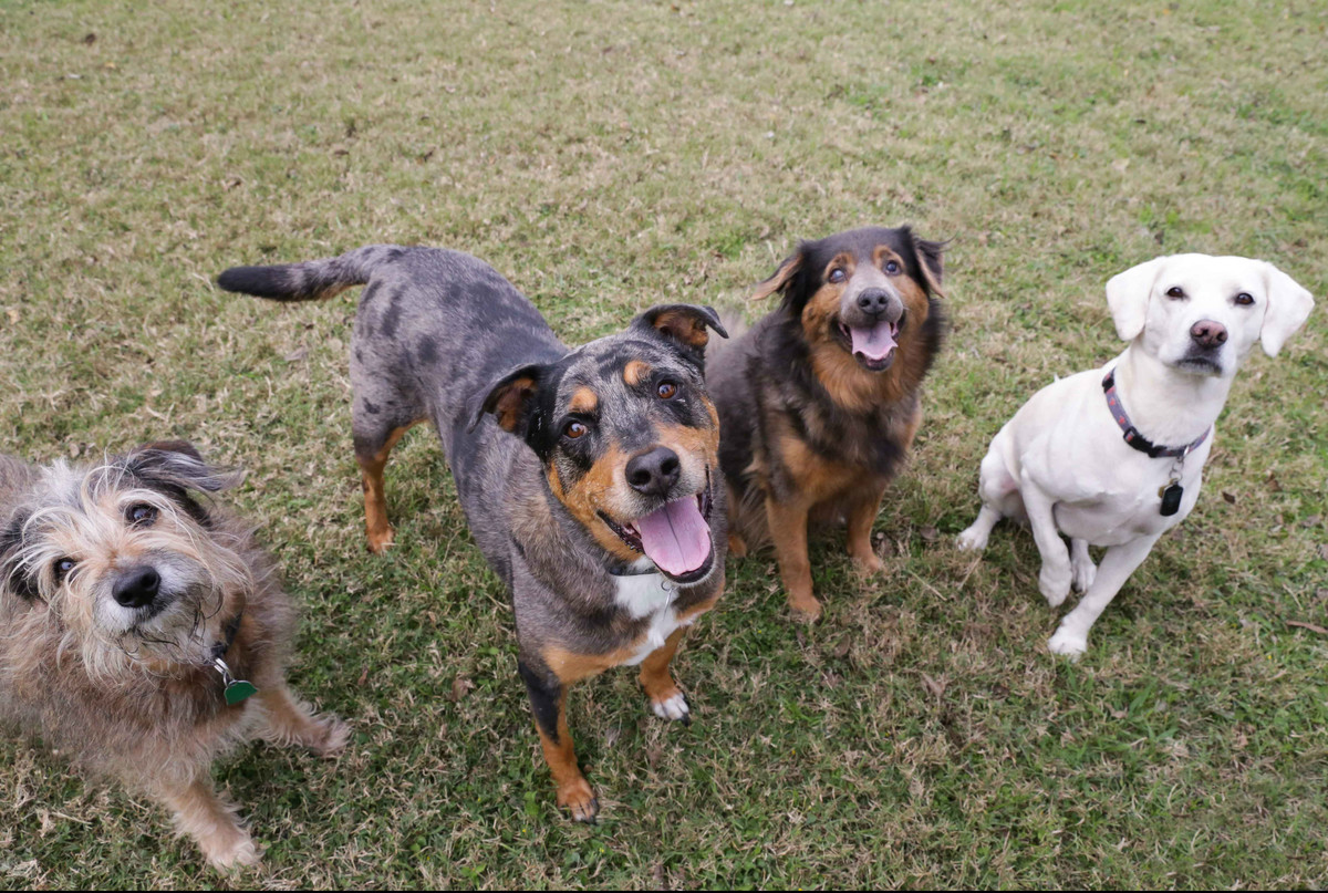 4 dogs posing for camera on grass