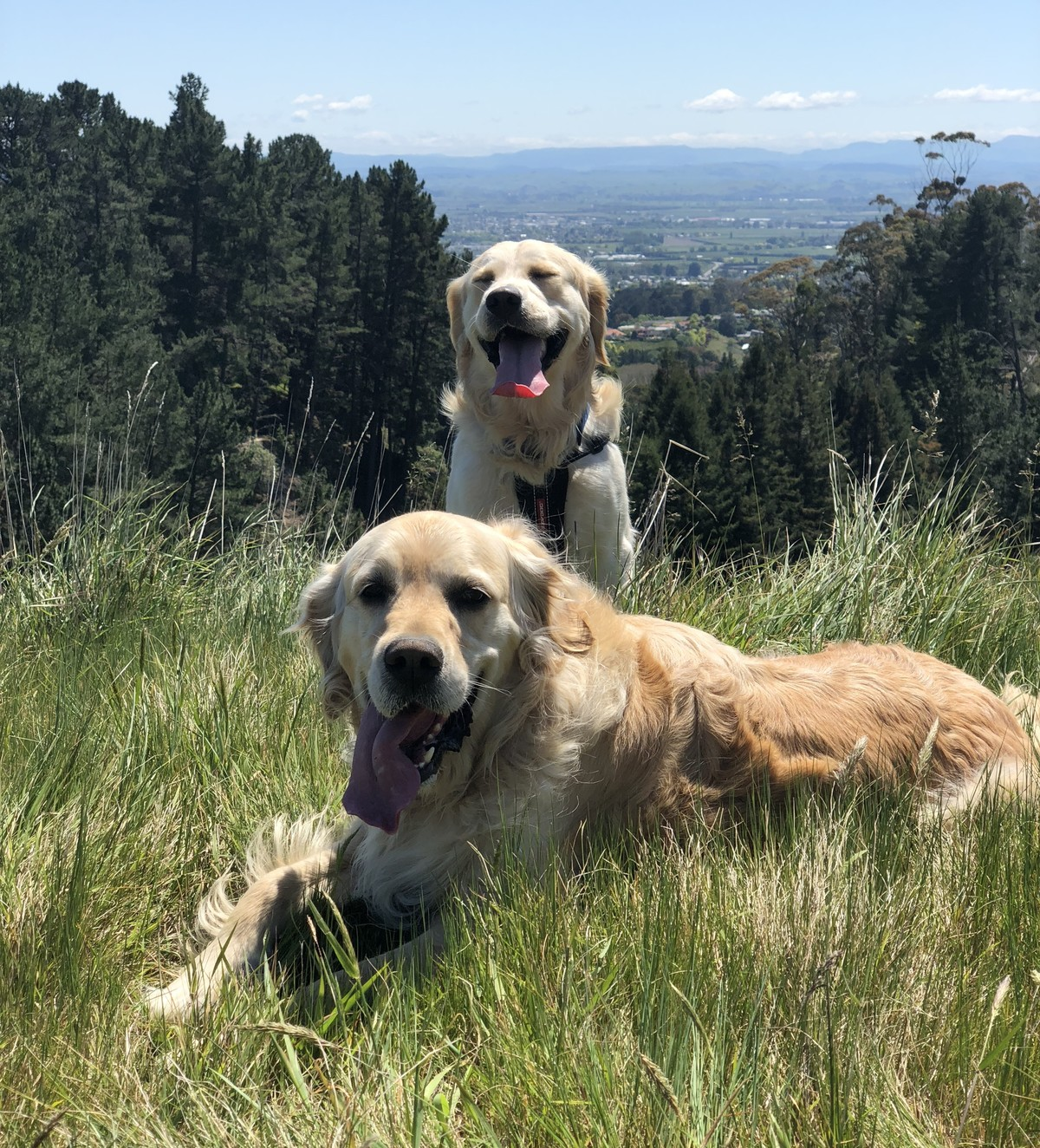 Two Golden Retrievers on top of hill