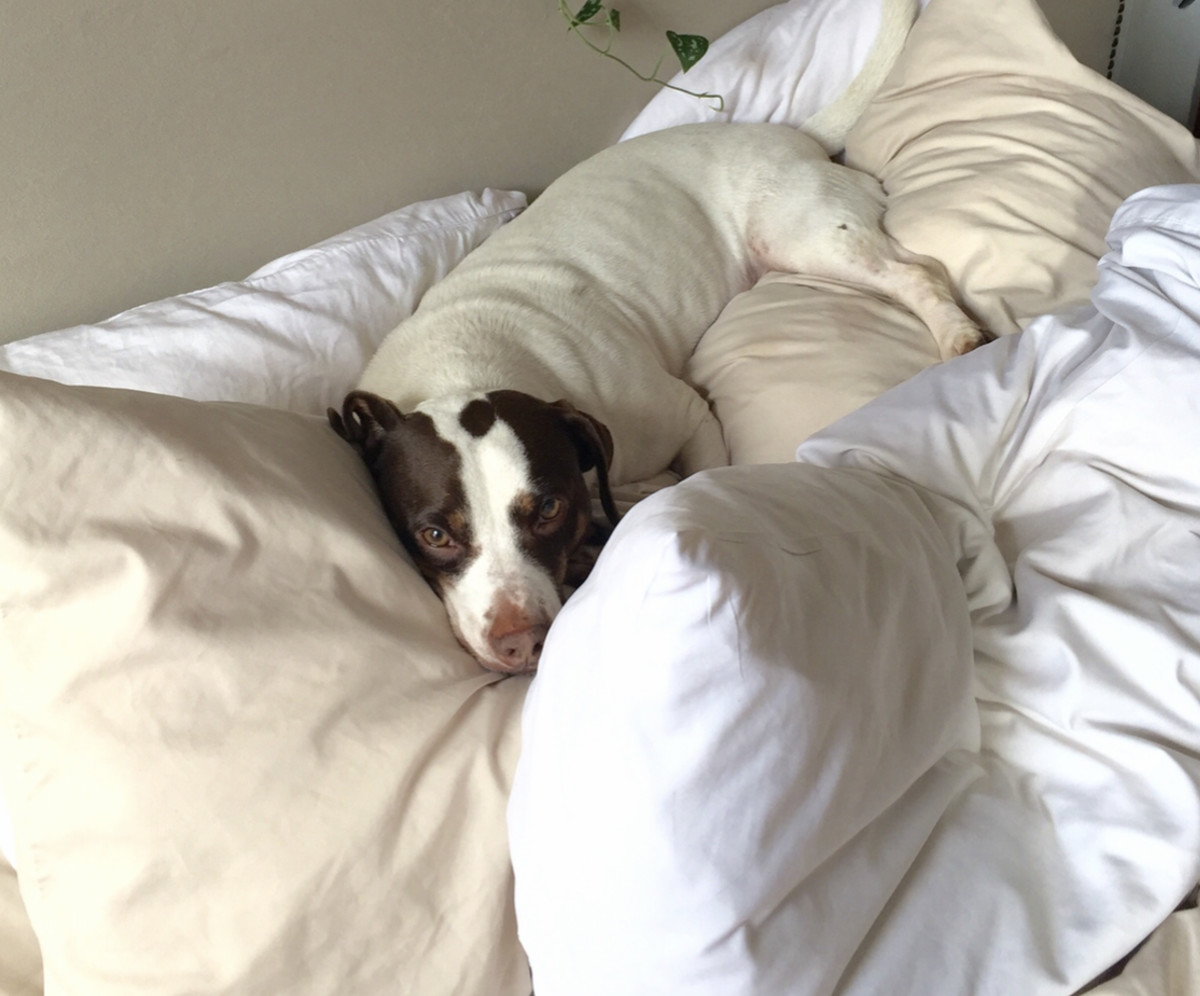 Dog snuggled up in bed