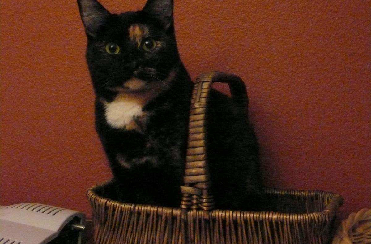 Tabby cat in basket