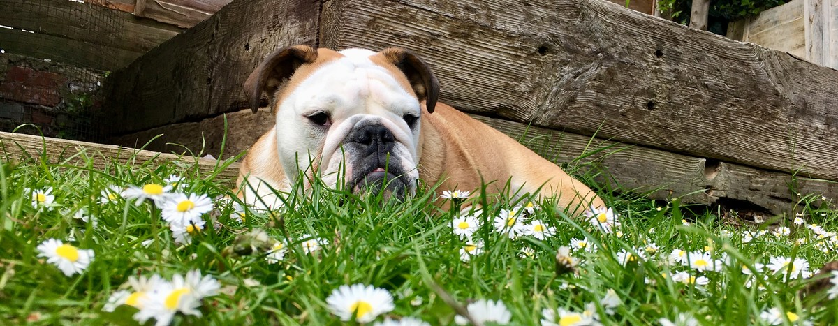 Bulldog laying down on grass on sunny day