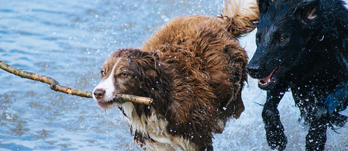 Dogs playing fetch in water.