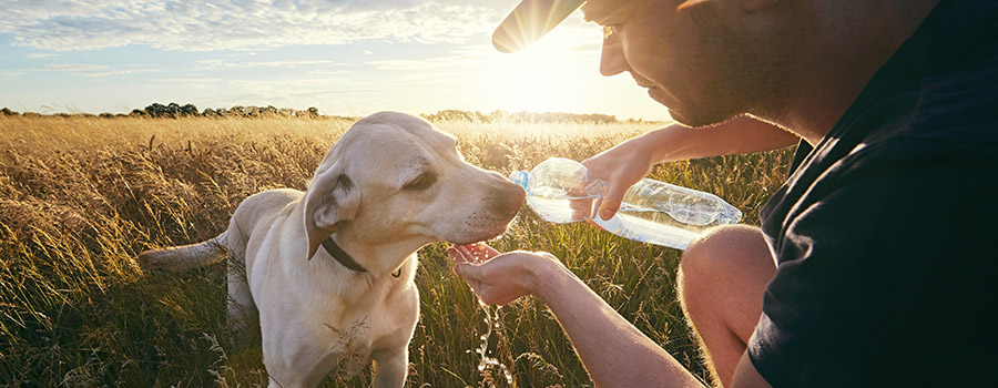 Dog drinking water from owner's hand on hot walk
