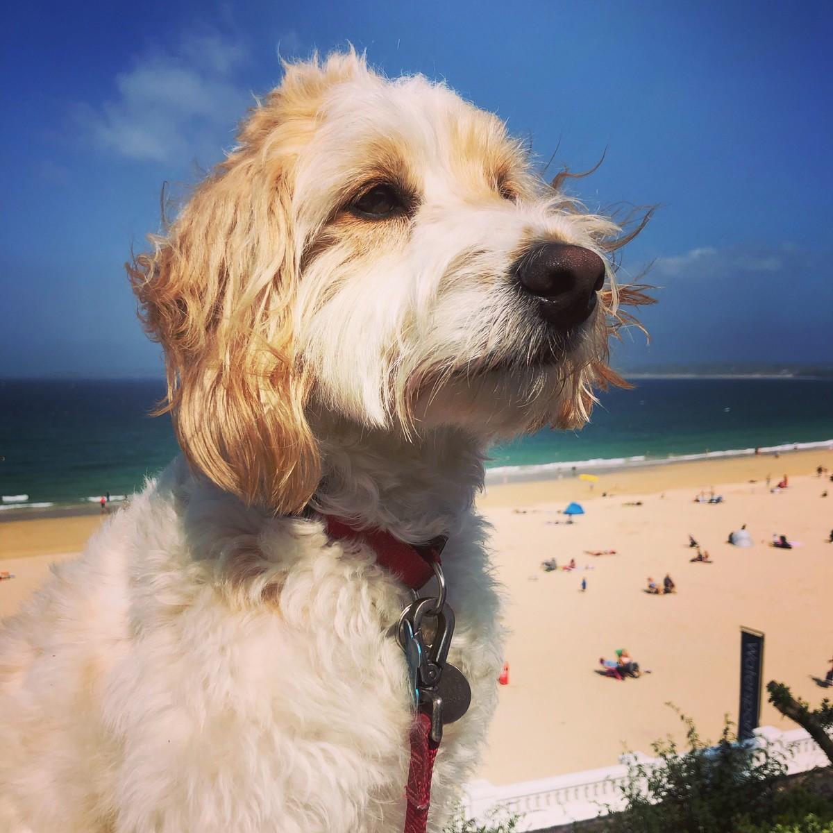cockapoo on beach